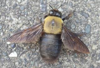 クマバチ 捕まえ方