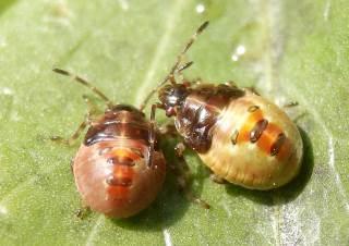 アオモンツノカメムシ幼虫.jpg