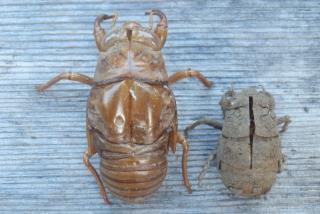 アブラゼミとニイニイゼミ幼虫.JPG