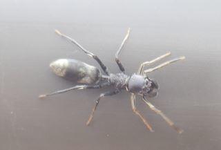 アリグモ雌ヤサアリグモ.JPG