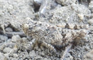 イボバッタ幼虫.JPG