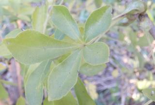 ウコギの葉.JPG