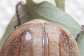 オオコフキコガネ雌尾端.JPG