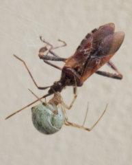 オオヒメグモとマツヘリカメムシb[1].jpg