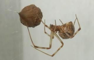 オオヒメグモ卵嚢.JPG
