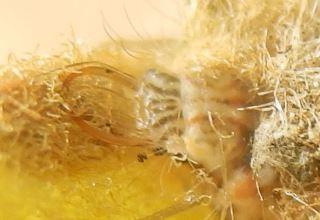 カオマダラクサカゲロウ幼虫2顔.JPG