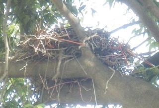 カラスの巣.JPG