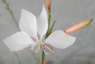 ガウラ花.JPG
