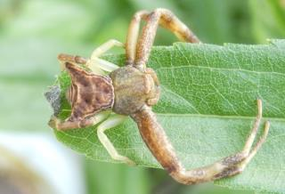 ガザミグモ雌.JPG