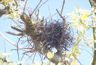 キジバトの巣.JPG