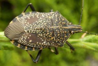 キマダラカメムシ褐色に黄斑.JPG