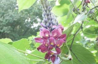クズの花.JPG