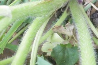 ケキツネノボタン茎、下部.JPG