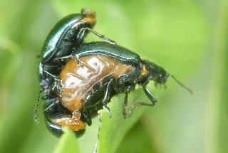 コガタルリハムシ雌雄2.JPG