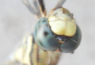 シオカラトンボ雌の顔.JPG