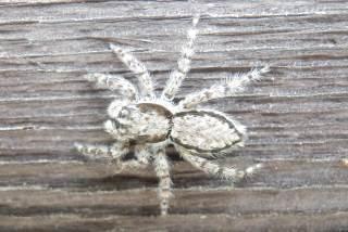 シラヒゲハエトリ雌1.JPG