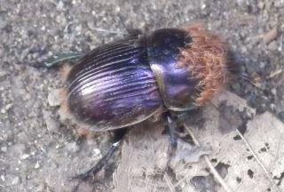 センチコガネ(紫色).JPG