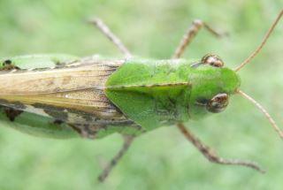 トノサマバッタ緑i色型.JPG