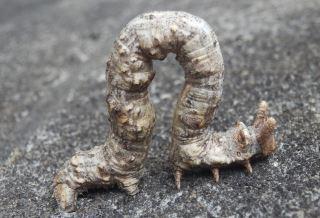 トビモンオオエダシャク幼虫.JPG