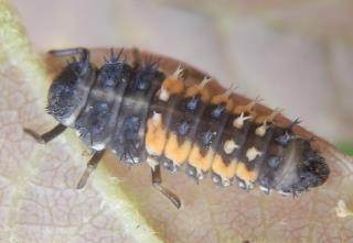 ナミテントウ幼虫.JPG