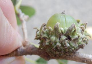 ハイイロチョッキリ産卵痕クヌギ1.JPG