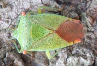 ハサミツノカメムシ雌.JPG