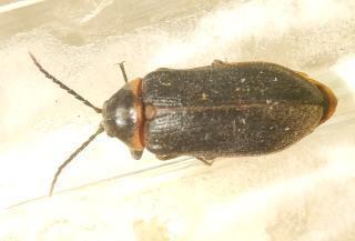 ヒゲナガハナノミ雌 2.JPG