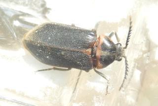 ヒゲナガハナノミ雌1.JPG