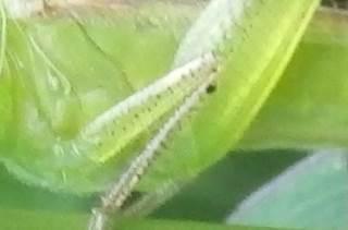 ホシササキリ脚の黒点.JPG