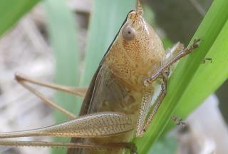 ホシササキリ褐色型雌2.JPG