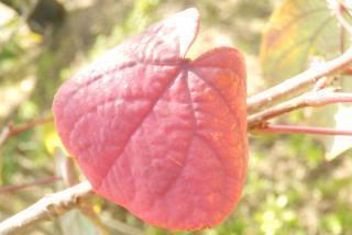 マルバノキ紅葉.JPG