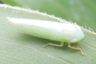ミドリヒメヨコバイの1種(笹にいた).JPG