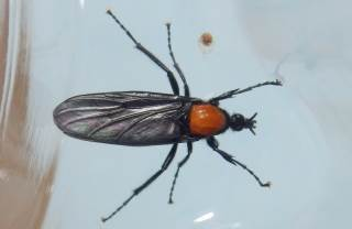 メスアカケバエ雌1.JPG