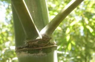 モウソウチクの枝.JPG