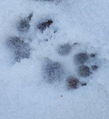 犬の足跡.jpg
